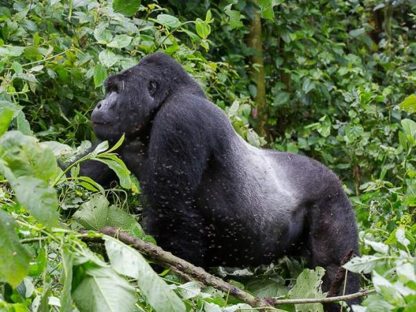 Gorilla and chimpanzee tracking holiday in Rwanda
