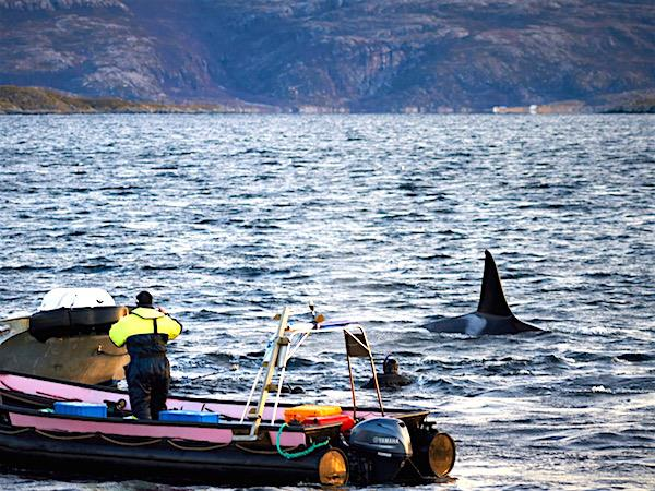 Swim with Orcas in Fjords of Norway