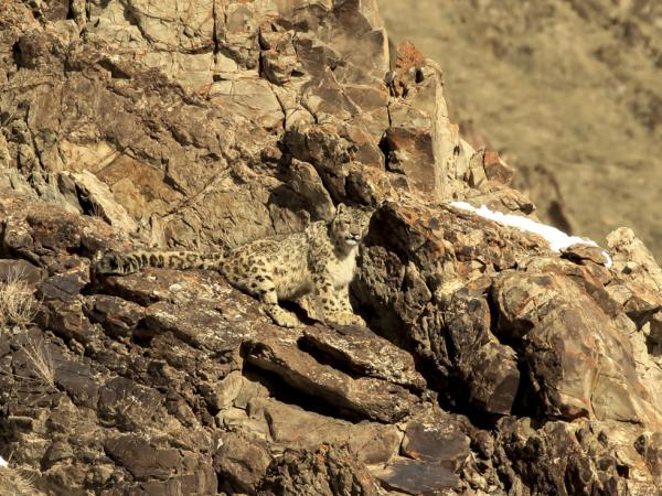 Snow leopard expedition in Ladakh, India