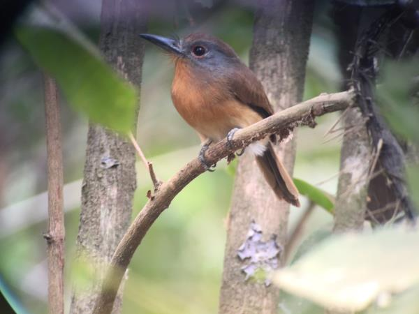 Panama bird watching holiday