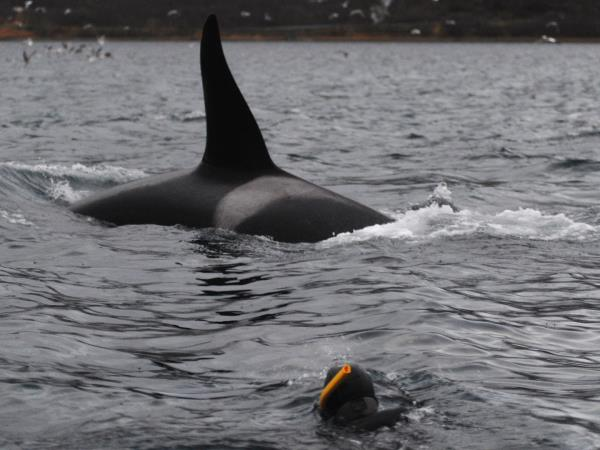 Swim with killer whales and humpback whales in Norway