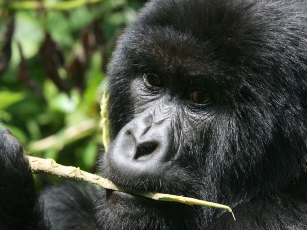 Uganda primate safari, tailor made