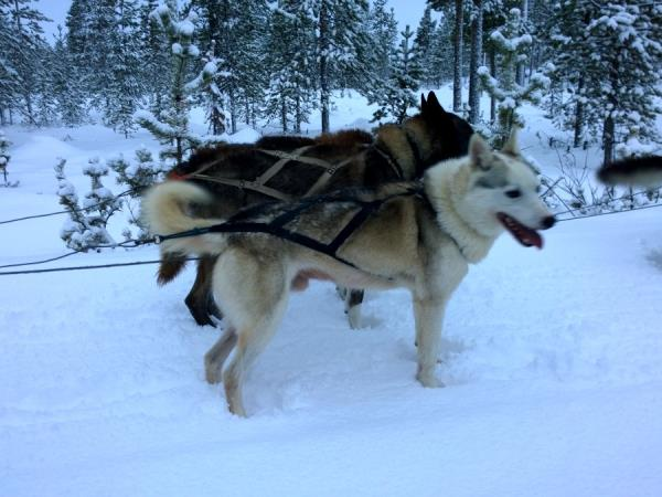 Lapland holiday, husky safari & log cottage