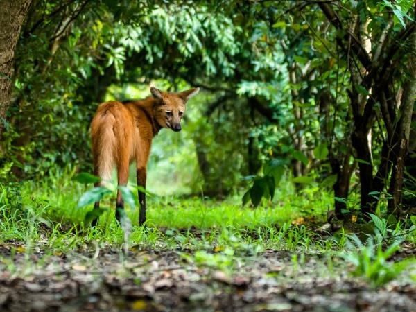 Maned wolf watching holiday in Brazil