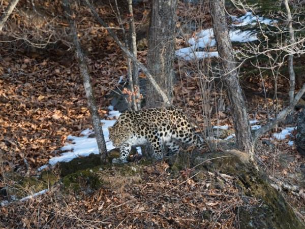 Amur leopard photography tour in Russia