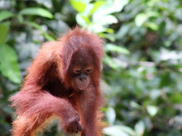 Indonesia holiday, orangutans and culture