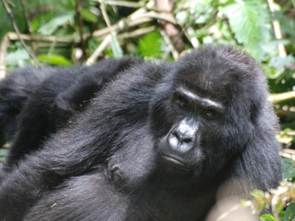 4 day gorilla safari in Uganda