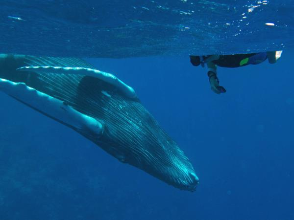 Humpback whalewatching and swimming holiday in the Caribbean