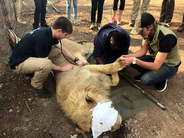 Lion rehabilitation volunteering in South Africa