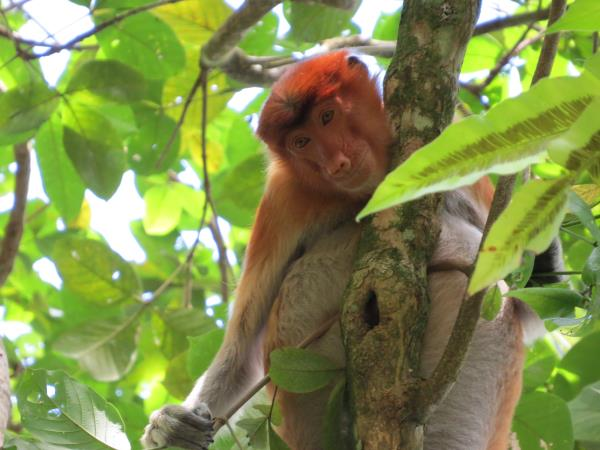 Borneo tour, Orangutans and Iban