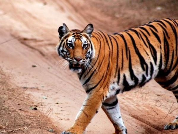 India tigers and temples tour