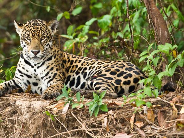 Jaguar photography holiday in Brazil with Pie Aerts