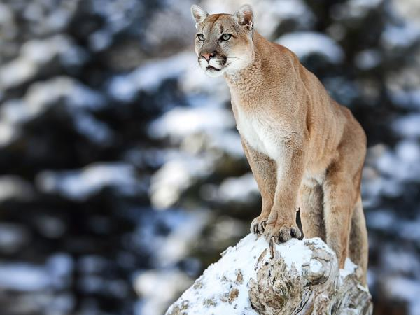 Puma tracking in Patagonia holiday