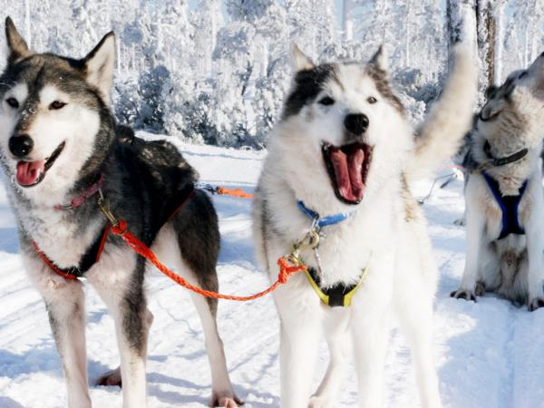 Lapland husky safari holiday, Finland