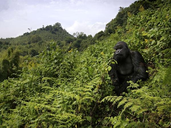 3 Day Gorilla trekking holiday in Rwanda
