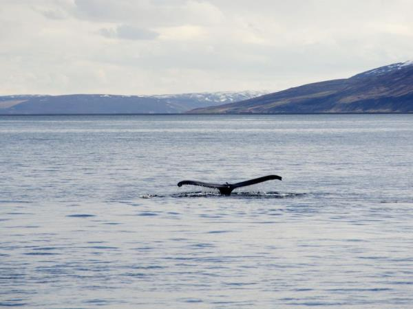 Iceland whale-watching experience