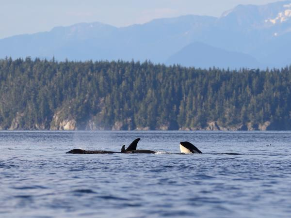 Orca kayaking and camping tour, Canada