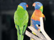 Rainbow Lorikeets, South Australia. Photo by South Australia Tourist Board
