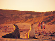 Sea lions on Kangaroo Island, South Australia. Photo by South Australia Tourist Board