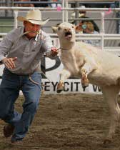 Calf roping, animal welfare issues at rodeos