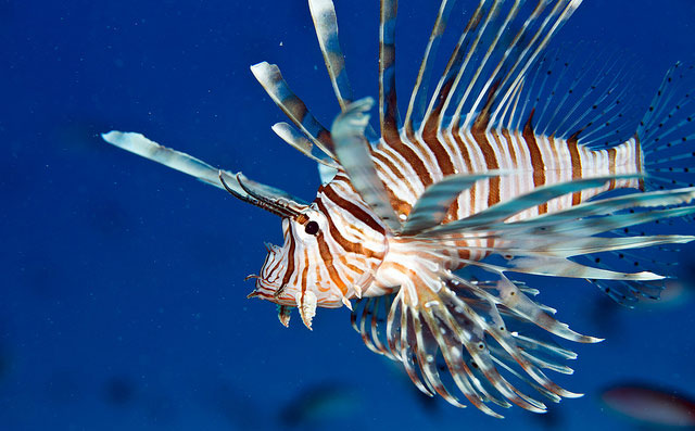 Lionfish spearing in Belize. Responsible Lionfish spearing ...