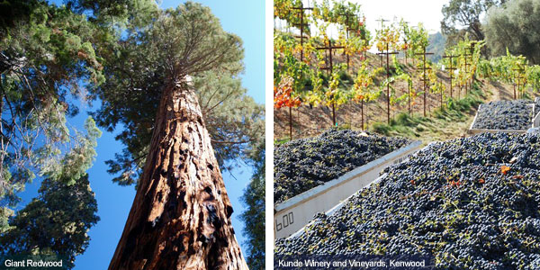 Giant redwood tree and vineyard at Mendocino