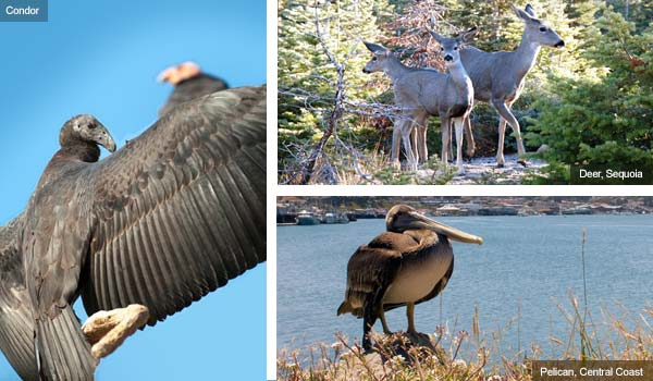Condor, Deer and Pelican