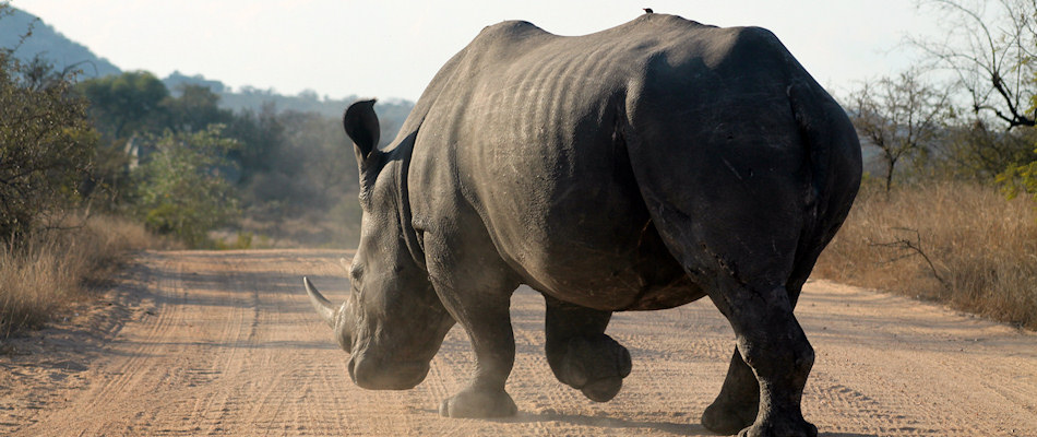 Rhino running in the opposite direction