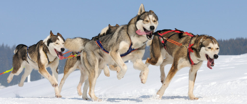 Husky dog team