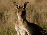 Kangaroo, South Australia. Photo by South Australia Tourist Board