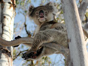 Koala in tree, South Australia. Photo by South Australia Tourist Board
