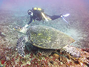 Scuba diver with turtle, KwaZulu-Natal. Photo By Richard Madden