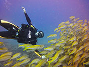 Scuba diver with yellow fish, KwaZulu-Natal. Photo By Richard Madden