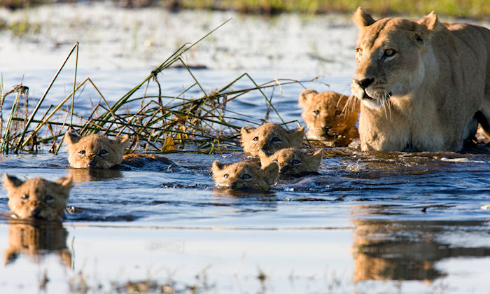 Family of lions in the wild