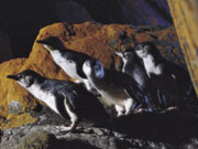 Little Penguins, South Australia. Photo by South Australia Tourist Board
