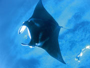 Manta Ray, Western Australia. Photo by Tourism Western Australia