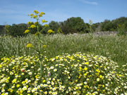 Yellow flowers in meadow, Menorca. Photo by Audax Hotels