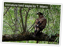 Immature bald eagle, New York State. Photo by T. Miano