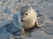 Seal pup, South Australia. Photo by South Australia Tourist Board