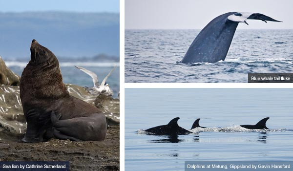 Sea lion, blue whale and dolphins, Victoria. Photos from Victoria Tourist Board