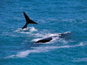 Whales, South Australia. Photo by South Australia Tourist Board