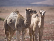 Camels on Fuerteventura. Photo by Nick Haslam