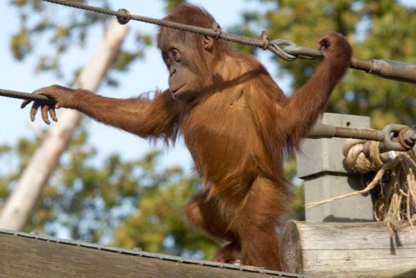 Baby orangutan at Durrell, Jersey. Photo from Jersey Tourist Board
