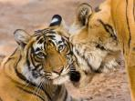 Bandhavgarh tiger and wildlife safari, India