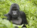 Gorilla safari in Rwanda, gorillas, monkeys and chimpanzees