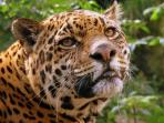 Jaguar Expedition in the Peruvian Amazon