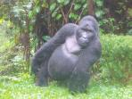 Uganda gorilla safari, tailor made
