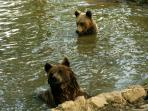 Bear conservation in Romania
