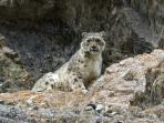Snow Leopard tracking in the Himalayas