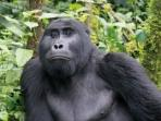 Uganda gorilla safari holiday